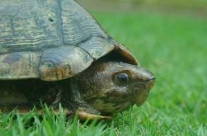 Gyors teknősbéka